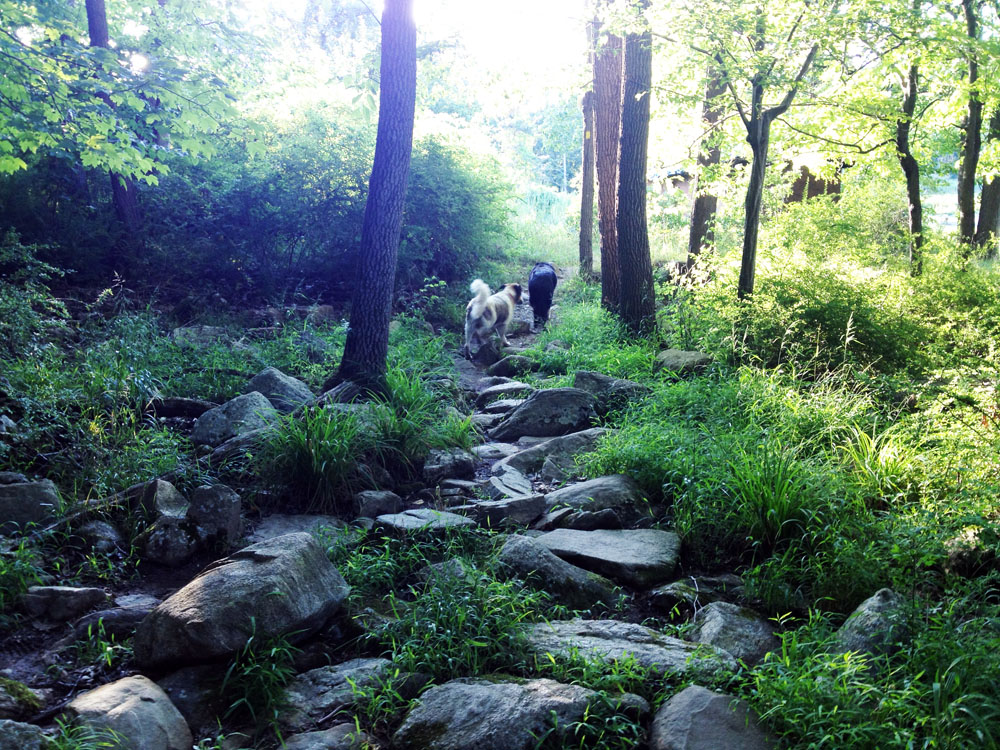 Two elderly dogs hike around the edge of Silvermine Lake, on the Menomine Trail.