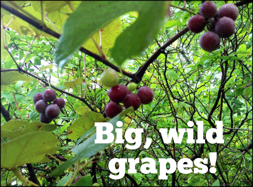 Giant Wild Grapes Near Lake Sebago Beach