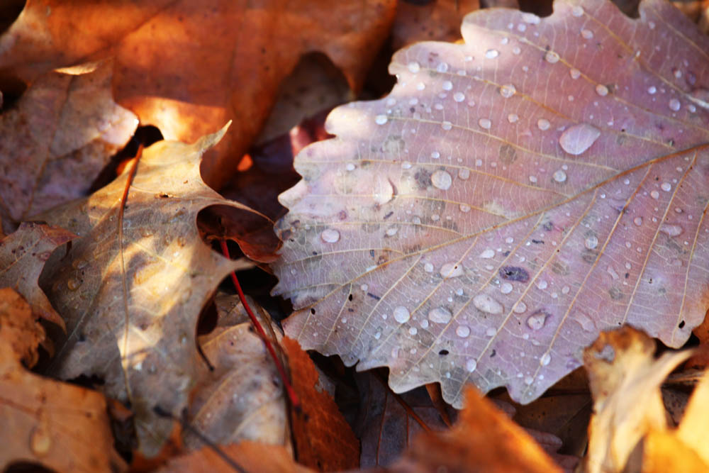 Wet and slippery, leathery oak leaves litter the trails of Harriman State Park in New York.