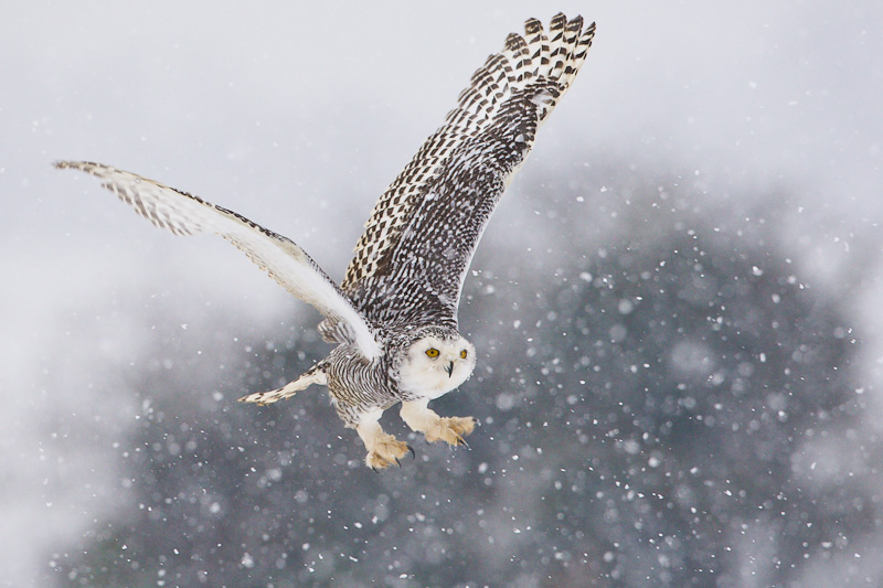snowy-owl-flying-across-a-field-in-falling-snow.jpg