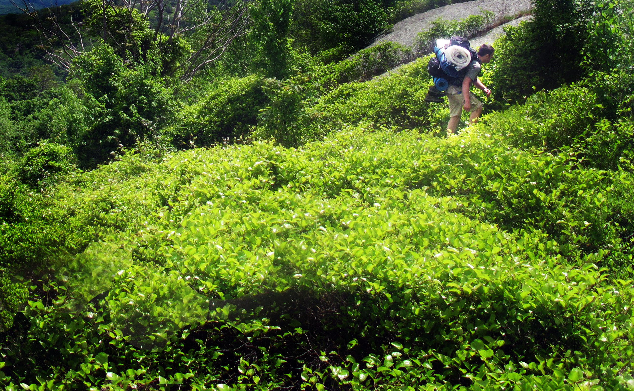 Hiker from Outdoor Action is surrounded by green vegatation on the way to Bald Rocks shelter in Harriman State Park.